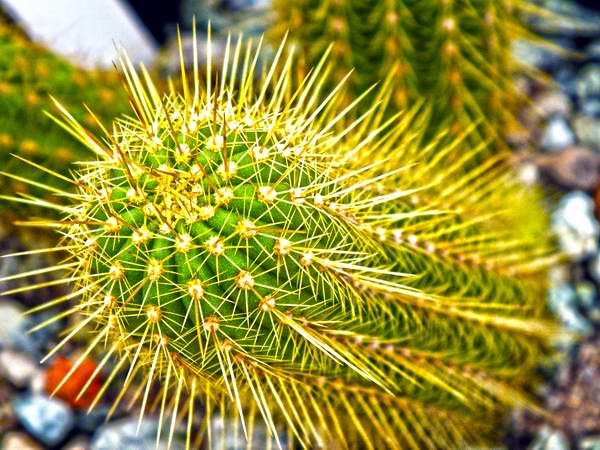 Cactus cubano. Foto Abel Rojas