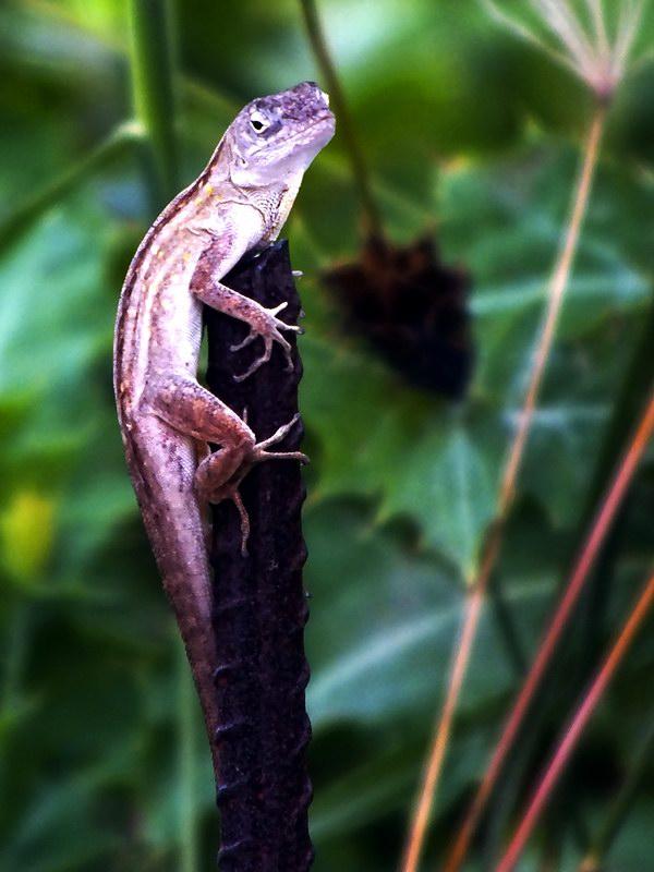 Una lagartija de la fauna cubana. Foto Abel Rojas