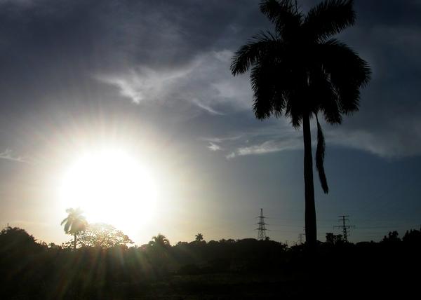 La Palma Real de Cuba tiene un tronco robusto de color blanco mármol y una corona de hojas grandes. Foto Abel Rojas Barallobre