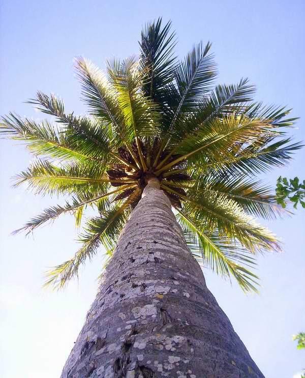 Algunas palmas pueden alcanzar una altura de hasta unos 25 metros, y en algunos casos puede llegar hasta 40 metros. Foto Abel Rojas Barallobre