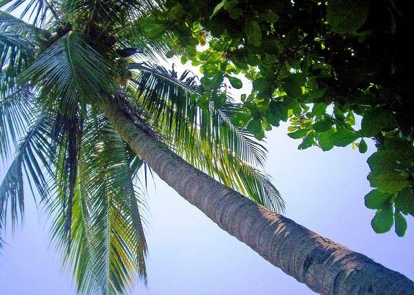 La palma tiene muchos usos, además de su popular cultivo en jardinería. Foto Abel Rojas Barallobre
