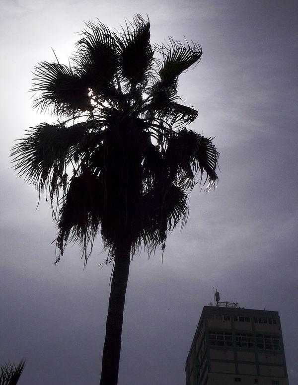 Las palmas son fáciles de reconocer. Son plantas leñosas con grandes hojas en corona al final del tallo, generalmente pinnada o palmada. Foto Abel Rojas Barallobre