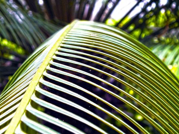 Con la madera y las hojas o pencas de la palma construyeron nuestros aborígenes sus bohíos y caneyes. Foto Abel Rojas Barallobre