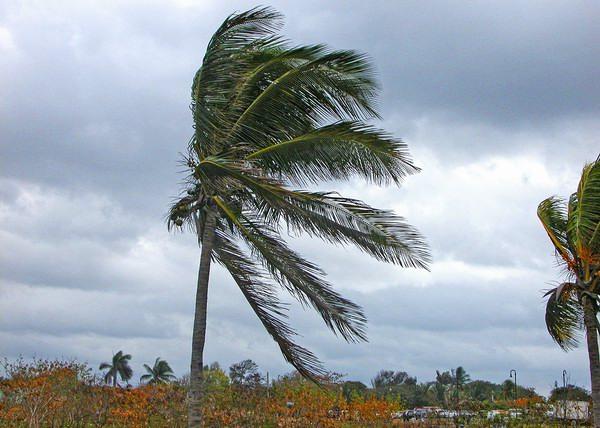 Las palmas están distribuidas en regiones tropicales a templadas, pero principalmente en regiones cálidas. Foto Abel Rojas Barallobre