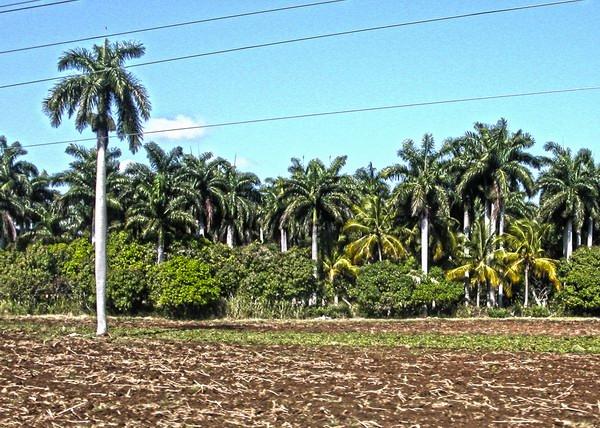 """La Roystonea regia es una especie de palma cuya altura, elegancia y fácil cultivo la ha convertido en una de los árboles utilizados como ornamental más común en el mundo. Es también el más simbólico de los campos de Cuba, donde es reconocido como árbol nacional. El epíteto específico «regia» viene del latín y significa """"real"""". Foto Abel Rojas Barallobre"""