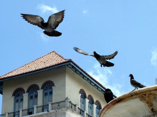 La paloma, con gran majestuosidad, emprende su vuelo. Foto Abel Rojas