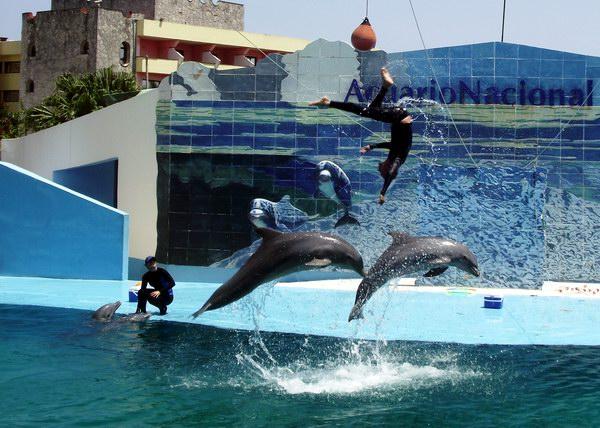 Además de constituir un centro científico especializado en la investigación y la educación ambiental, el acuario ofrece al público asistente variadas y entretenidas demostraciones con delfines y lobos marinos. Foto Abel Rojas Barallobre