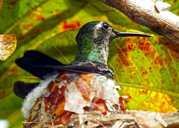 En Cuba podemos encontrar al Zunzún en la península de Guanacabibes, La Sierra Cristal, La Ciénaga de Zapata y en jardines de la cuidad donde encuentra su alimento favorito, en las flores. Foto Abel Rojas Barallobre