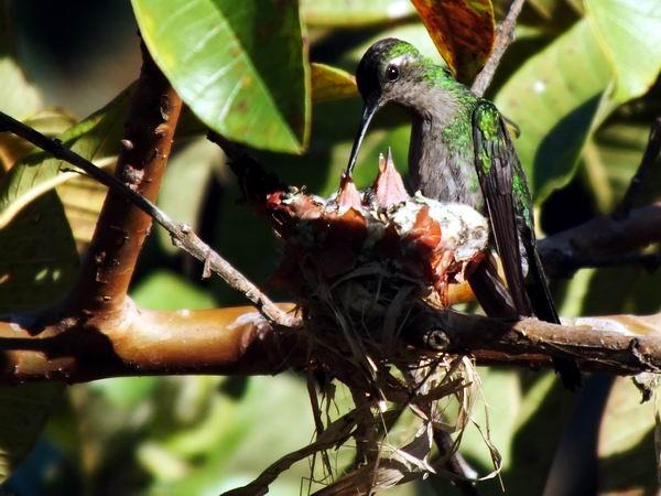 Los colibríes alimentan a sus hijos durante unas tres a cuatro semanas. La hembra va al nido en este tiempo hasta 140 veces al día para alimentar a sus crías. Foto Abel Rojas Barallobre