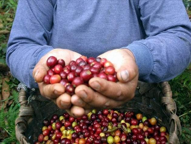 También el café se ha convertido en un rubro muy importante en Nicaragua